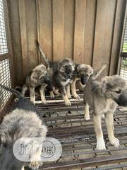 Young Male Purebred Caucasian Shepherd Dog | Dogs & Puppies for sale in Abuja (FCT) State, Asokoro