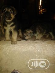 Baby Male Purebred German Shepherd Dog | Dogs & Puppies for sale in Edo State, Benin City