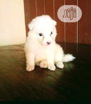 Baby Female Purebred American Eskimo Dog | Dogs & Puppies for sale in Lagos State, Maryland