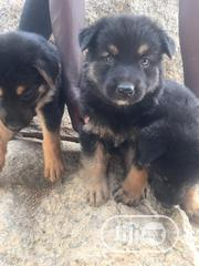 Baby Male Purebred German Shepherd Dog | Dogs & Puppies for sale in Abuja (FCT) State, Kubwa