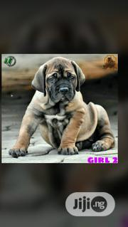 Young Female Purebred Boerboel | Dogs & Puppies for sale in Abuja (FCT) State, Maitama
