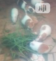 Rabbit/Porcupine (Emo) | Other Animals for sale in Osun State, Osogbo