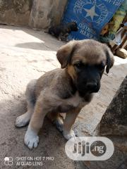 Baby Female Mixed Breed Caucasian Shepherd Dog   Dogs & Puppies for sale in Abuja (FCT) State, Gwagwalada