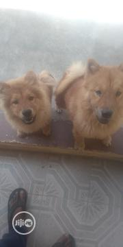Baby Male Purebred Chow Chow | Dogs & Puppies for sale in Osun State, Osogbo