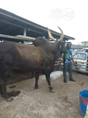 Big Healthy Vaccinated Cow Available For Sale | Livestock & Poultry for sale in Lagos State, Lagos Island