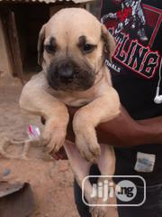 Baby Female Purebred Boerboel | Dogs & Puppies for sale in Lagos State, Alimosho
