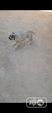 Baby Female Purebred Caucasian Shepherd Dog | Dogs & Puppies for sale in Abuja (FCT) State, Garki 1
