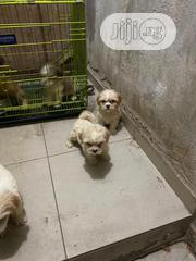 Baby Male Purebred Lhasa Apso | Dogs & Puppies for sale in Lagos State, Ojodu