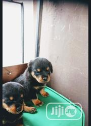 Baby Female Purebred Rottweiler | Dogs & Puppies for sale in Lagos State, Oshodi-Isolo