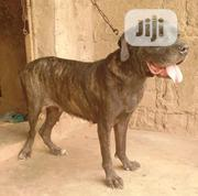 Adult Female Purebred Boerboel | Dogs & Puppies for sale in Ogun State, Abeokuta South