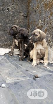 Baby Female Purebred Boerboel | Dogs & Puppies for sale in Rivers State, Obio-Akpor