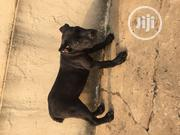 Young Male Purebred Cane Corso | Dogs & Puppies for sale in Lagos State, Lagos Mainland