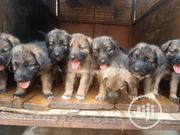 Young Male Purebred German Shepherd Dog   Dogs & Puppies for sale in Ogun State, Abeokuta North