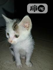 Young Female Mixed Breed American Shorthair | Cats & Kittens for sale in Abuja (FCT) State, Wuye