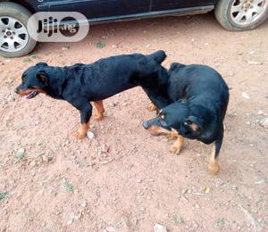 Metting Of Dog (Rottweiler, Boabul,Etc For Crossing)