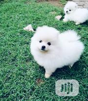 Baby Male Purebred Pomeranian | Dogs & Puppies for sale in Lagos State, Lagos Mainland