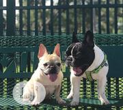 Young Female Purebred French Bulldog | Dogs & Puppies for sale in Lagos State, Lagos Island