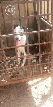 Baby Female Purebred American Pit Bull Terrier | Dogs & Puppies for sale in Oyo State, Oyo