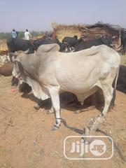 Cows At Their Affordable Prices | Livestock & Poultry for sale in Lagos State, Agboyi/Ketu