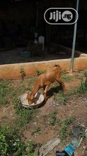 Matured Male Goats   Livestock & Poultry for sale in Edo State, Ikpoba-Okha