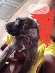 Baby Male Purebred Boerboel | Dogs & Puppies for sale in Ogun State, Ifo