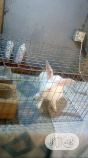 White Male Hyla | Livestock & Poultry for sale in Lagos State, Surulere