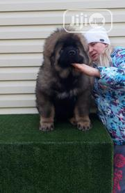 Young Male Purebred Caucasian Shepherd Dog | Dogs & Puppies for sale in Abuja (FCT) State, Garki 2