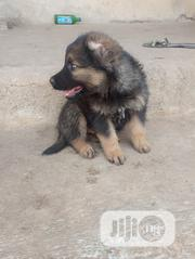Baby Male Mixed Breed Caucasian Shepherd Dog | Dogs & Puppies for sale in Abuja (FCT) State, Wuse