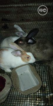 Giant Hybrid Rabbits | Livestock & Poultry for sale in Rivers State, Port-Harcourt
