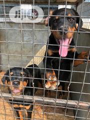 Young Male Purebred Rottweiler | Dogs & Puppies for sale in Ogun State, Abeokuta South