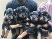 Baby Female Purebred Rottweiler | Dogs & Puppies for sale in Oyo State, Ido