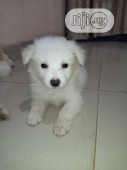 Young Male Purebred American Eskimo Dog | Dogs & Puppies for sale in Osun State, Osogbo