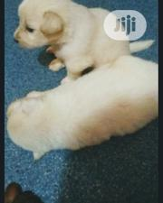 Baby Female Purebred Samoyed | Dogs & Puppies for sale in Lagos State, Magodo
