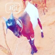 Healthy Goats   Livestock & Poultry for sale in Oyo State, Ogbomosho South