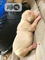 Young Male Purebred American Pit Bull Terrier | Dogs & Puppies for sale in Lagos State, Ipaja