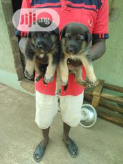 Young Male Purebred German Shepherd Dog | Dogs & Puppies for sale in Lagos State, Alimosho