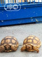 Tortoise For Sell | Reptiles for sale in Lagos State, Surulere