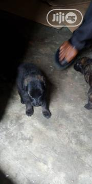 Baby Male Mixed Breed Belgian Tervuren | Dogs & Puppies for sale in Rivers State, Obio-Akpor