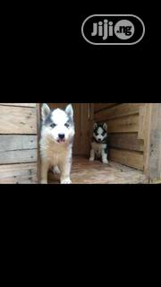 Baby Female Purebred Siberian Husky | Dogs & Puppies for sale in Lagos State, Lagos Mainland