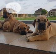 Adult Female Purebred Boerboel | Dogs & Puppies for sale in Ogun State, Ipokia