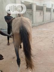 Male And Female Horse For Sale | Other Animals for sale in Osun State, Iwo
