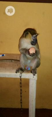 African Monkey | Other Animals for sale in Ogun State, Abeokuta South