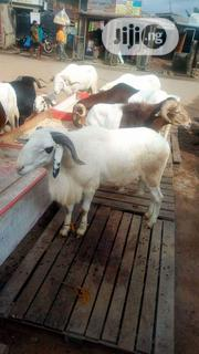 Healthy Borno Ram For Sale Both Big And Small | Livestock & Poultry for sale in Kano State, Garko