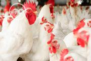 Broilers And Eggs For Sale | Meals & Drinks for sale in Ogun State, Ifo