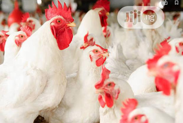 Archive: Broilers And Eggs For Sale
