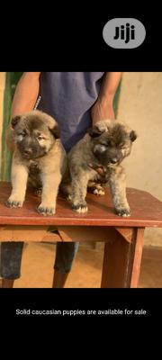 Young Female Purebred Caucasian Shepherd Dog | Dogs & Puppies for sale in Ogun State, Ijebu Ode