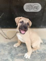 Baby Male Purebred Boerboel | Dogs & Puppies for sale in Osun State, Osogbo