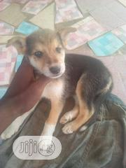 Baby Male Mixed Breed | Dogs & Puppies for sale in Ogun State, Ifo