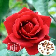 Rose Flower Seed Rose Flower Seedlings | Feeds, Supplements & Seeds for sale in Lagos State, Victoria Island