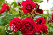 Rose Flower Seed And Rose Flower Seedlings | Feeds, Supplements & Seeds for sale in Lagos State, Victoria Island